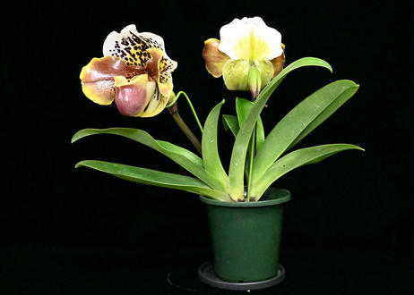 Paph. New Yorker 花付き株