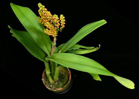 Polystachya paniculata 花付き株