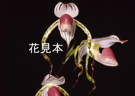 Paph. stonei ツボミ付き株(米国産の実生初花)