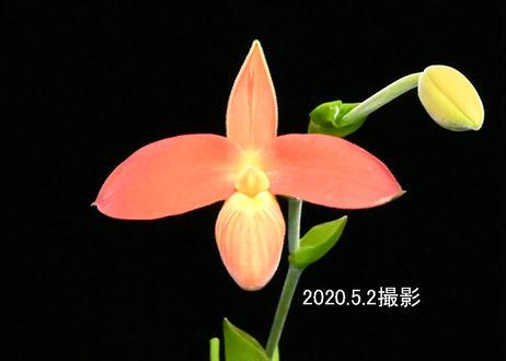 Phrag. Karame (orange type) 花付き株