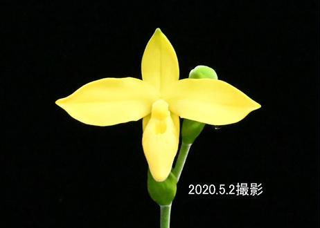 Phrag. Karame (flavum type) 花付き株