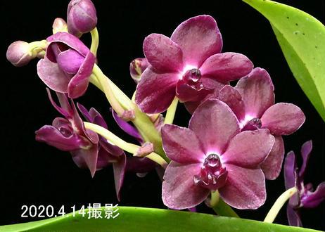 Rhynchonopisis Suree 花付き株
