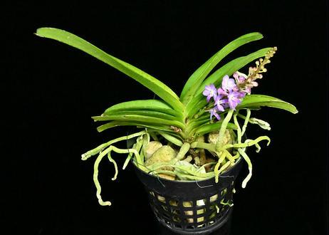 Vandachostylis Lilac Blossom 花付き株(Purple)
