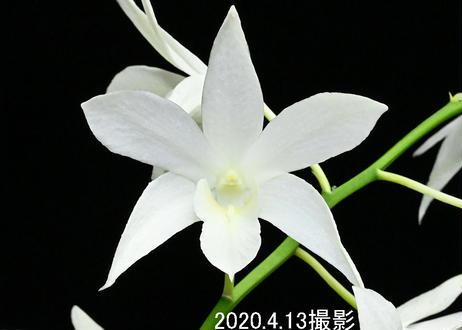 Den. White Grace 'Sato' AM-CCE/AOS 花付き株