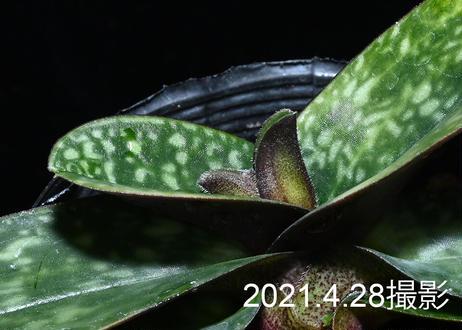 Paph. niveum x sibling ツボミ付実生未開花株
