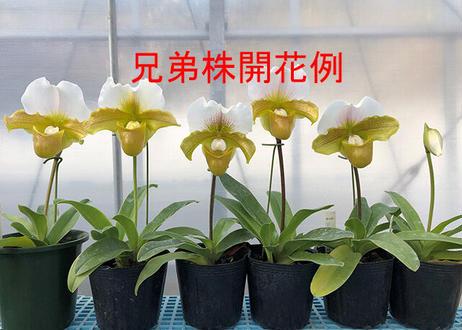 Paph. (Stone Lovely × chralesworthii fma. album) ツボミ付き株(初花)