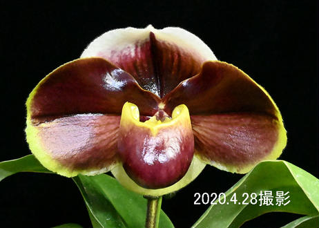 Paph. Red Rouge 花付き株