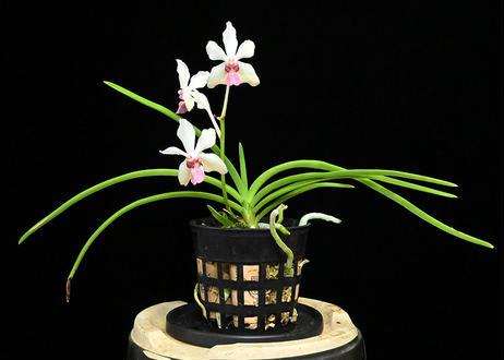 Vg. (Holc. rupestre × V. lamellata var. boxalii) 花付株(実生初花)