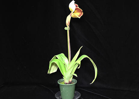 Paph. New Yorker 花付き株(初花)