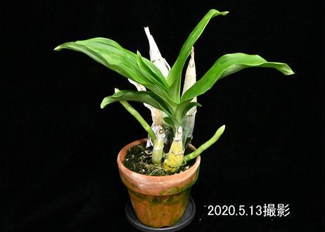 Ctsm. tenebrosum × sibling 花芽2付株(実生未開花株)