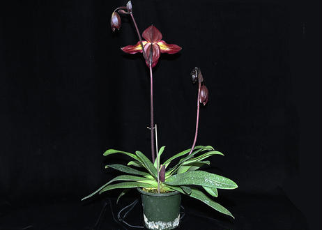 Paph. Gloria Naugle 'In-Charm Red' (MC) 花付き株