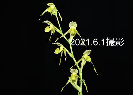 Paph. kolopakingii fma. katherinae 花6輪付き株 実生初花