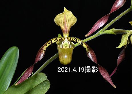 Paph. Robinianum 'Montecito' HCC/AOS 花4輪付き株