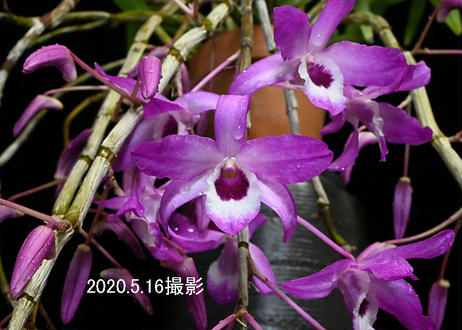 Den. Cassiope 'Classical Red' 花付き株