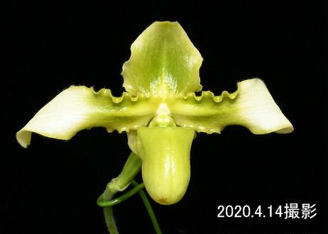 Paph. hirsutissimum var. esquirolei fma. alboviride 花付き株