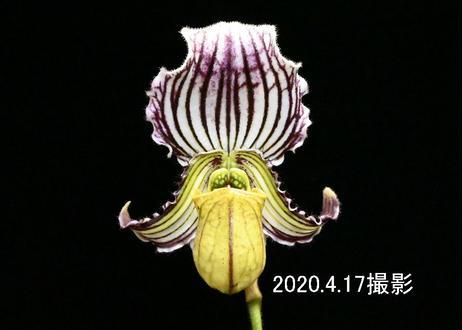 Paph. fairrieanum 花付き株