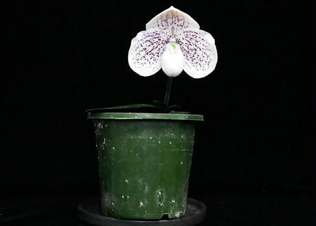 Paph. Nathaniel's Spectra 花付き株(実生初花)