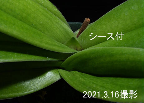 Paph. Lady Luck 'Change Up' AM/AOS, SSM/JOGA シース付き株