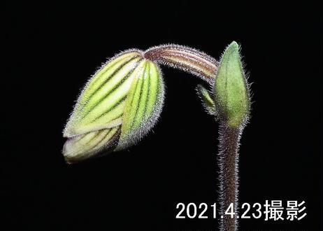 Paph. urbanianum x sibling ツボミ付株