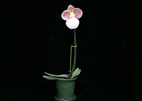 Paph. micranthum 花付き株