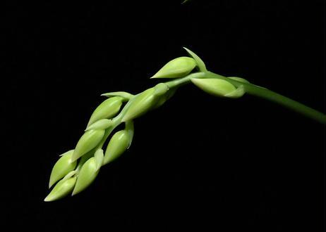 Ctsm. (Portagee Star × tigrinum) ツボミ3芽付 実生未開花株