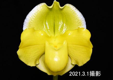 Paph. Emerald Sea 花付き株(オーキッドゾーンの実生株)