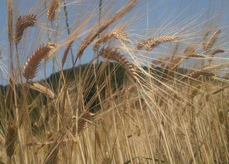 雑穀ヴァイツェン 自給麦芽38%ver. 6本セット