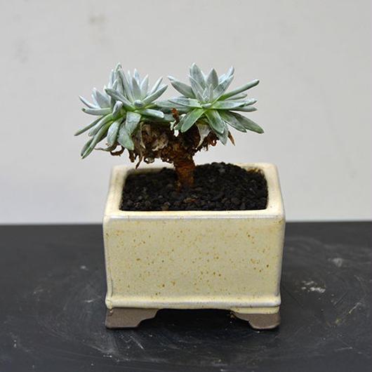 ダドレア グリーニー 盆栽鉢