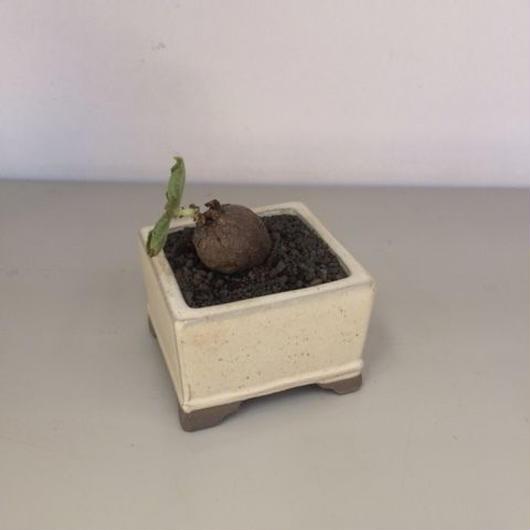 アエオランサスSP 盆栽鉢