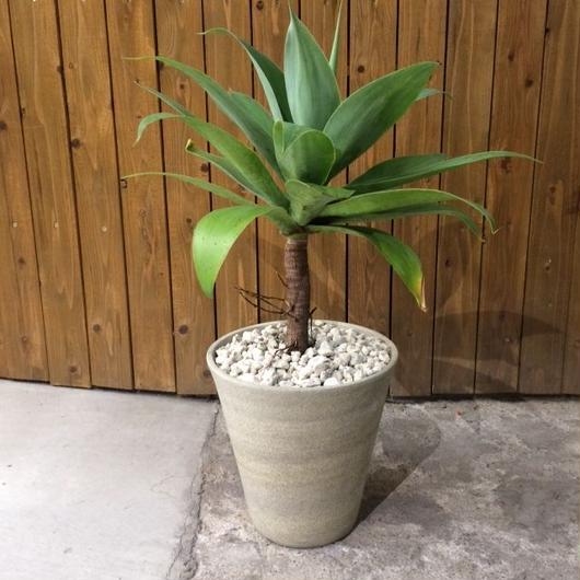 アガベ アテナータ 陶器鉢