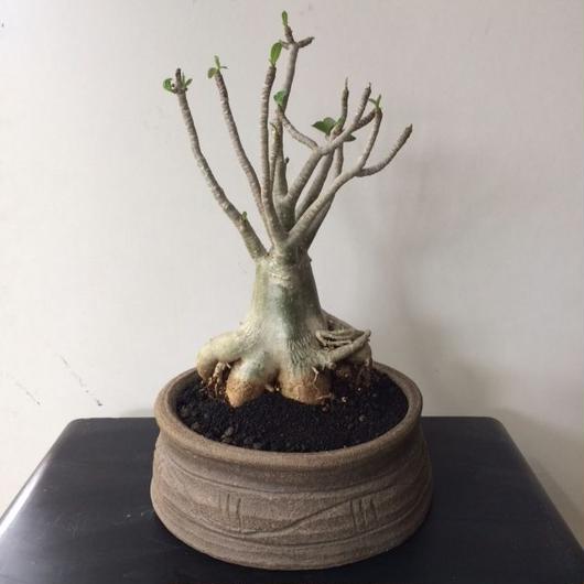 アデニウム アラビカム 平鉢