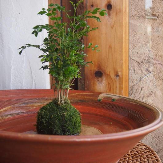 苔玉 シマトネリコ