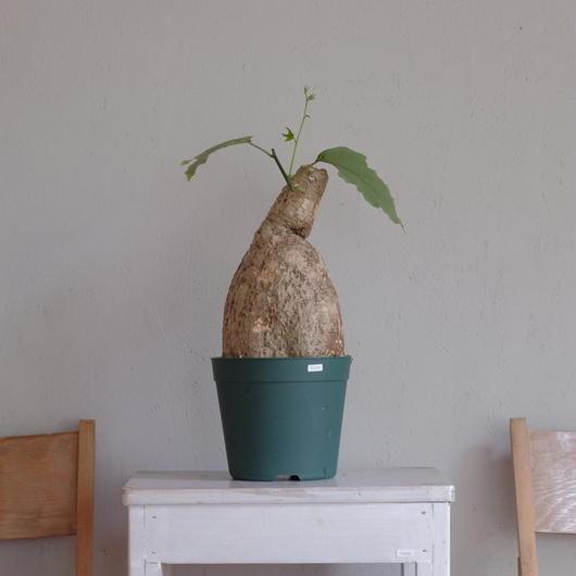 アデニア・ビリディフロラ Adenia viridiforia  ①