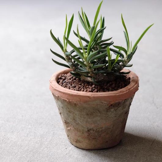 キリンドリフォリア  トゥビフェラ  Euphorbia cylindrifolia ver.Tubifera