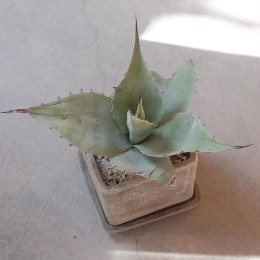 アガベ  オハティフォリア Agave ovatifolia