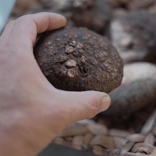 原種系シクラメン ネアポリターナ   Cyclamen neapolitamun