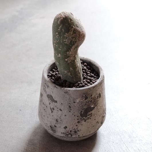 なるほど柱(珍宝閣)Trichocereus macrogonus f. monst