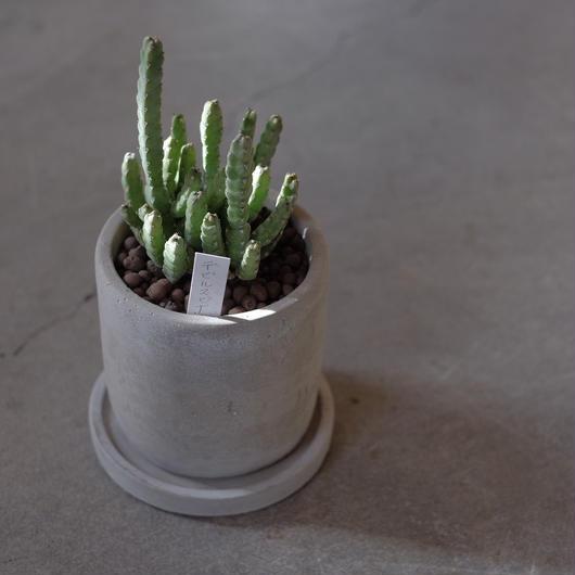 ユーフォルビア  デビリスピナ  Euphorbia debilispina
