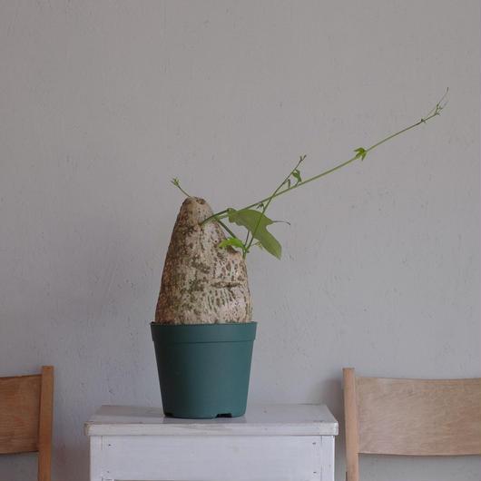 アデニア・ビリディフロラ Adenia viridiforia②