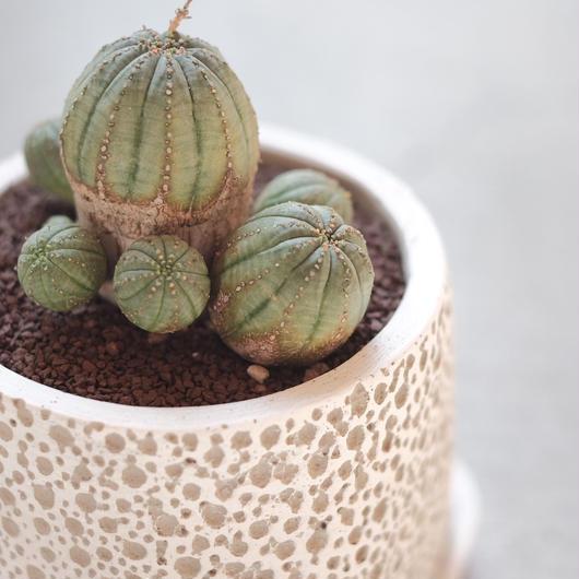 オベサ梵天 Euphorbia 'Obesa Bonten