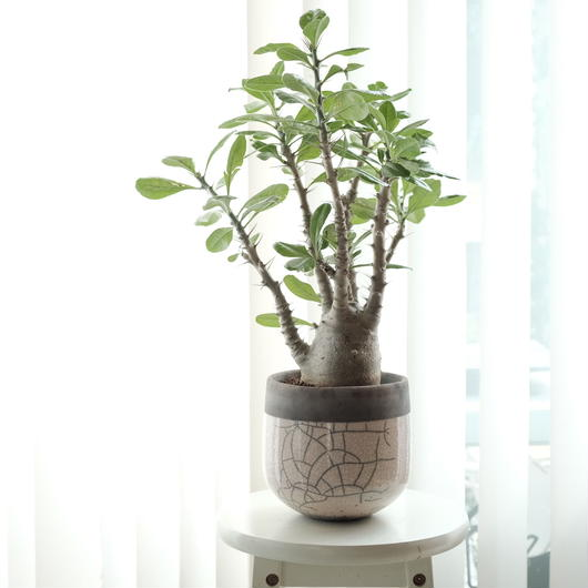 パキポディウム  ロスラーツム  サンデルシー Pachypodium  rosulatum  Pachypodium saundersii