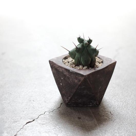 竜神木 綴化 Myrtillocactus geometrizans f.crist