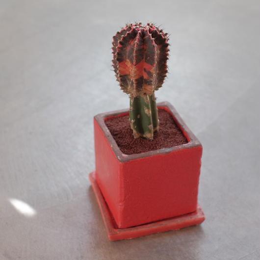 ギムノカリキウム 緋牡丹錦  Gymnocalycium mihanovichii v.friedrichi cv.Hibotannishiki