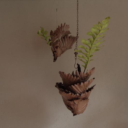 ドリナリア クエルキフォリア Drynaria quercifolia