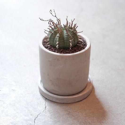 ユーフォルビア・バリダ  No1   Euphorbia valida