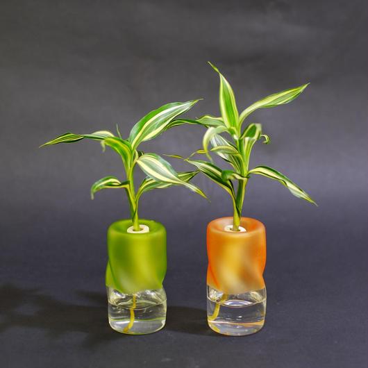 土なし 清潔 水やり簡単 セラハイト 幸福の木『ドラセナ・サンデリアーナ』と ツイストガラス 2個セット