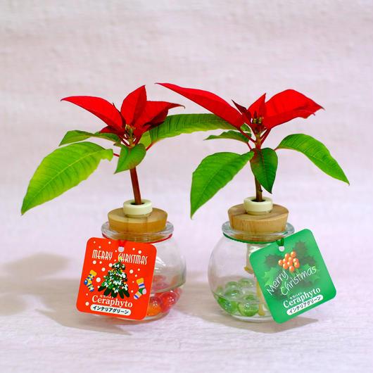クリスマスに最適 『セラハイト ポインセチア』2個セット 【土なし 清潔 水やり簡単】【3週間枯れ補償】【送料無料】