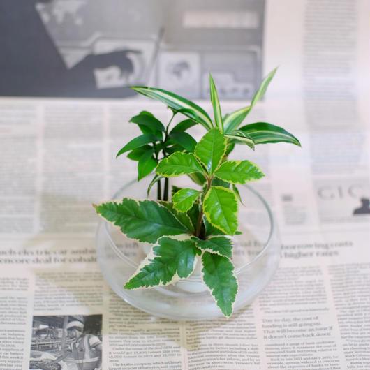 「梛(ナギ)の木」「ドラセナ・サンデリアーナ」「ヤマタチバナ」とオシャレな「フローティングベース」 スタンド式