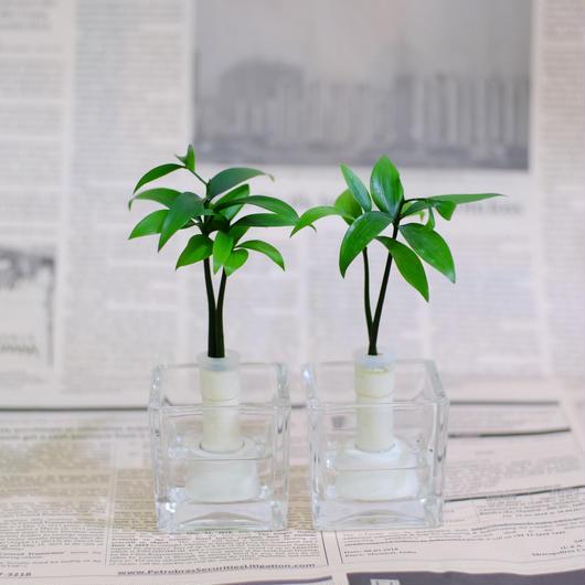 土なし 清潔 水やり簡単 セラハイト 良縁を結ぶ「梛(ナギ)の木」と松野工業のガラス製「キューブベース」 2個セット スタンド式