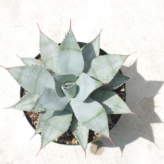 "Agave pygmaea ""dragontoes""/アガベ ピグマエア ドラゴントゥース"